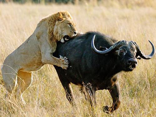 løver på savannen